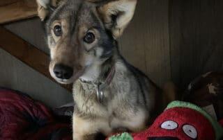 Kiwatchi Adventure-Sled Dog